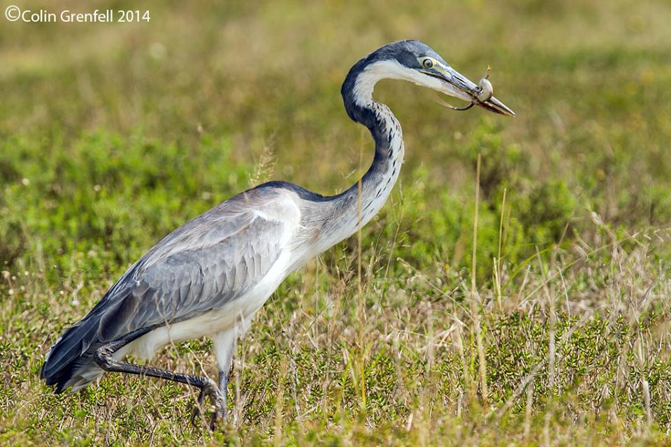 Black headed heron - photo#19